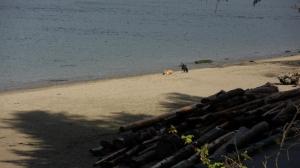 Beach dogs on Third Beach, Vancouver, B.C.